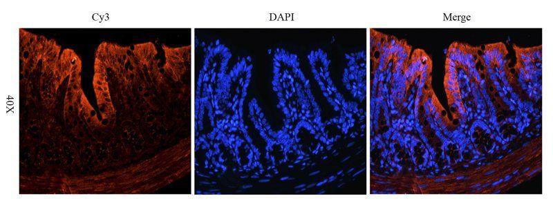 Immunofluorescence analysis of rat colon tissue using anti-IGF1 (2.5 ug/ml)