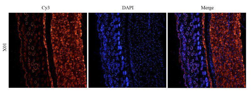 Immunofluorescence image of mouse skin tissue using IGF1 antibody (2.5 ug/ml)