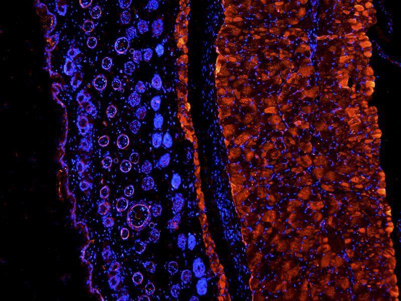 IF image of mouse skin tissue using anti-IGF1 (2.5 ug/ml)