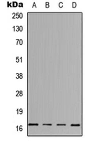 Western blot analysis of HeLa (Lane1), Jurkat (Lane2), Raw264.7 (Lane3), PC12 (Lane4) whole cell using IL-3 antibody