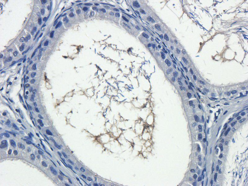 Immunohistochemical staining of rat epididymis tissue using anti-IL13 (2.5 ug/ml)