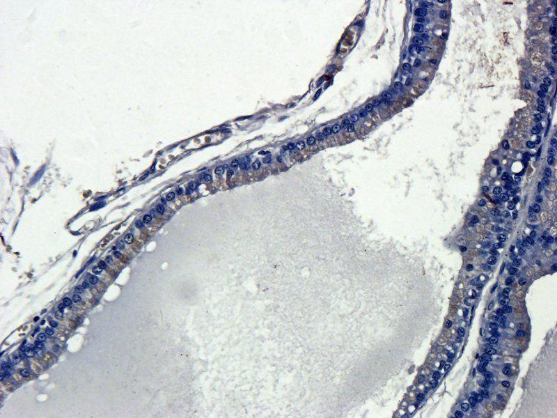 Immunohistochemical staining of paraffin embedded rat prostate tissue using IL13 antibody (2.5 ug/ml)