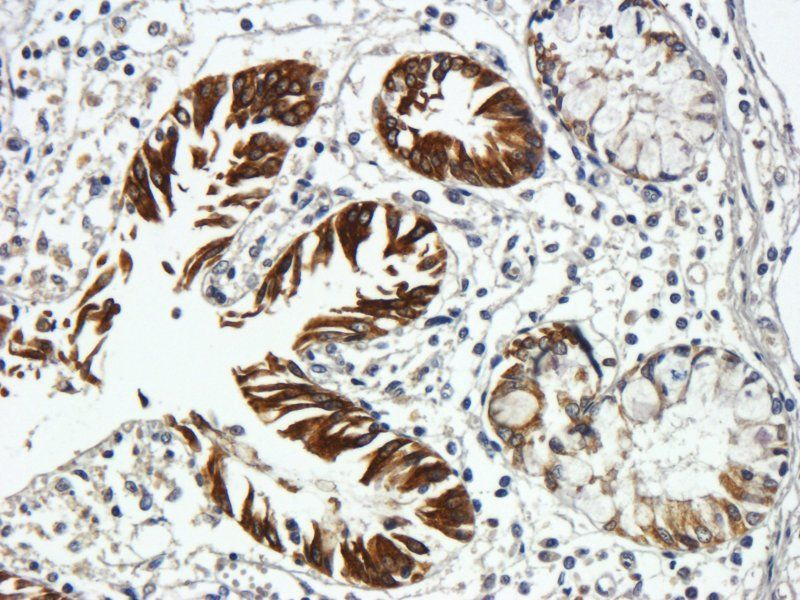 Immunohistochemical staining of paraffin embedded pig large intestines tissue using Integrin alpha 5 antibody (primary antibody at 1:500)