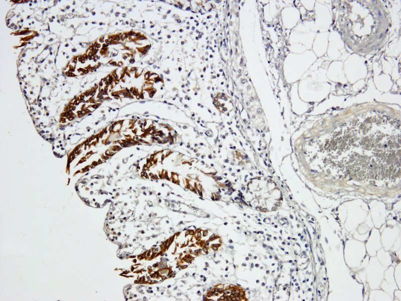 IHC-P image of pig large intestines tissue using Integrin alpha 5 antibody (dilution of primary antibody at 1:500)
