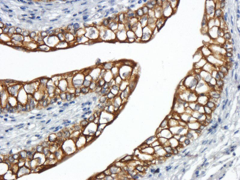 Immunohistochemical staining of paraffin embedded pig uterus tissue using Integrin alpha 5 antibody (primary antibody at 1:500)