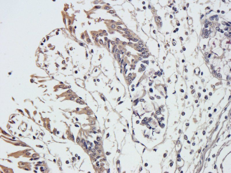 Immunohistochemical staining of paraffin embedded pig large intestines tissue using anti-Integrin alpha 5 (primary antibody at 1:500)