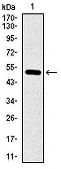 Western blot analysis of human (AA: 50-270) recombinant protein using ITGB1 antibody