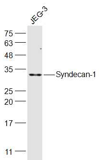 Western blot analysis of JEG-3(Human) Cell Lysate using Syndecan 1 antibody.