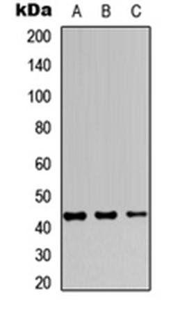 Western blot analysis of MCF7 (Lane1), Raw264.7 (Lane2), PC12 (Lane3) whole cell using JUNB antibody