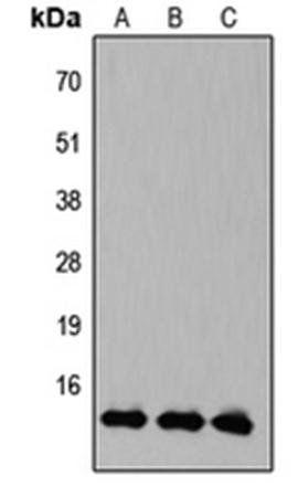 Western blot analysis of HEK293T (Lane1), Raw264.7 (Lane2), PC12 (Lane3) whole cell using KLF10/11 antibody