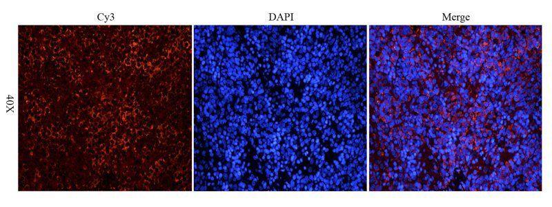 Immunofluorescence image of mouse spleen tissue using KLF2 antibody (dilution at 1:200)