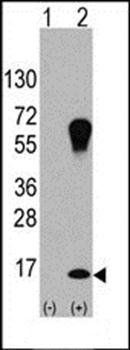 Western blot analysis of 293 cell lysateusing LC3 antibody (primary antibody dilution at: 1:1000)