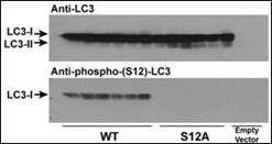 Western blot analysis of CHO cell cultureusing LC3C (phospho-Ser12) antibody (primary antibody at 1:1000)