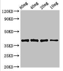 Western blot analysis of Recombinant protein using lexA antibody
