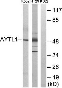 Western blot analysis of extracts from K562 cells and HT-29 cells using LPCAT2 antibody