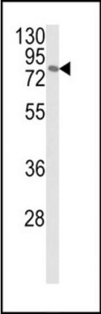 Western blot analysis of MCF-7 cell line lysates using MAPK8IP1 antibody