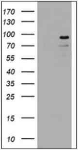 Western blot analysis of HEK293T cells using LNX1 antibody