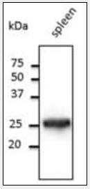 Western blot analysis of goat IgG (HRP) using RAB5A antibody