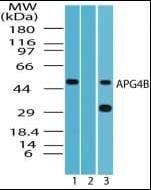 Western blot analysis of HeLa cell lysate using APG4B antibody