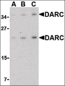 Western blot analysis of mouse brain tissue lysate using DARC antibody