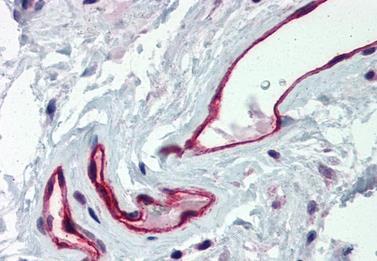 Immunohistochemical staining of human colon using DARC antibody