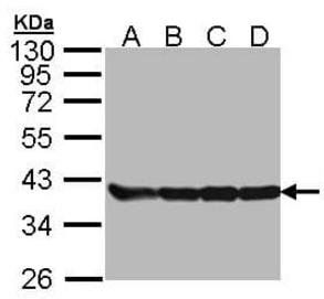 Western blot analysis of 293T(Lane 1), A431(Lane 2), H1299(Lane 3), Hela(Lane 4) using GAPDH antibody