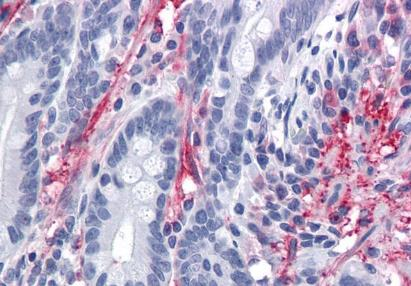 Immunohistochemical staining of human small intestine using Myocilin antibody