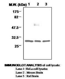 Western blot analysis of using 14-3-3 antibody