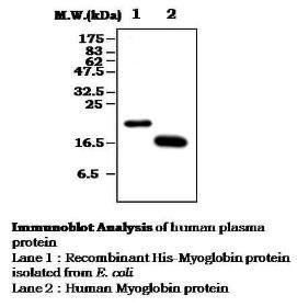 Western blot analysis of using Myoglobin antibody