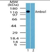 Western blot analysis of human brain lysate using AMBRA1 antibody