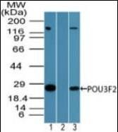 Western blot analysis of human Jurkat cell lysate using BRN2 antibody