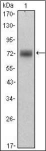 Western blot analysis of HeLa cell lysate using PLZF antibody