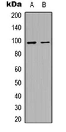 Western blot analysis of HEK293T (Lane1), H9C2 (Lane2) whole cell using MACC1 antibody