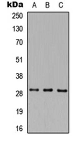 Western blot analysis of HEK293T (Lane1), Raw264.7 (Lane2), H9C2 (Lane3) whole cell using MAF1 antibody