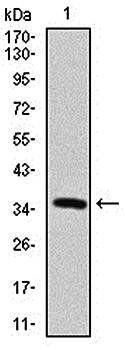 Western blot analysis of human recombinant protein using MAP2 antibody
