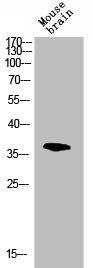 Western blot analysis of mouse-brain lysis using MAPK14 antibody
