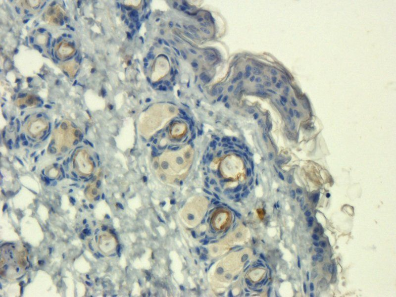 Immunohistochemical staining of paraffin embedded mouse skin tissue using anti-Mast Cell Chymase (2.5 ug/ml)