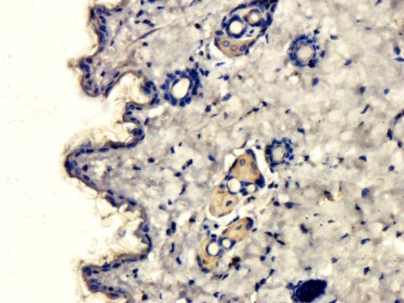 IHC-P image of mouse skin tissue using anti-MCP3 (2 ug/ml)