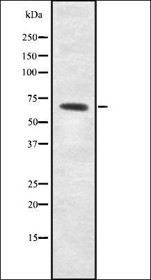 Western blot analysis of RAW264.7 whole cell lysates using ME2 antibody