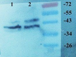 Western blot analysis of Rat brain (lane 1), Mouse brain (lane 2) using Melatonin Receptor antibody (Dilution at 2 ug/ml)