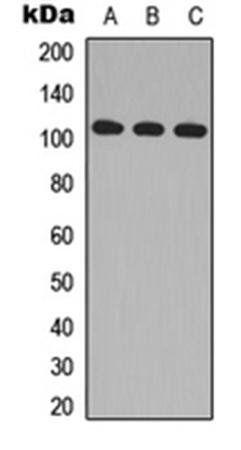 Western blot analysis of HeLa (Lane1), Raw264.7 (Lane2), H9C2 (Lane3) whole cell using MLK2 antibody