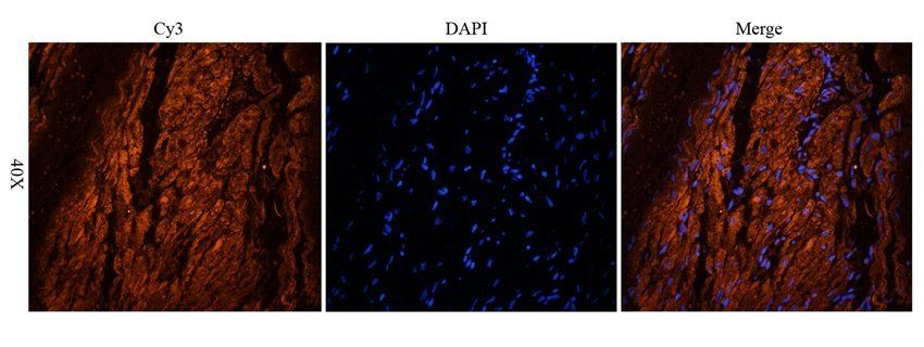 IF analysis of guinea pig heart tissue using anti-Mlkl (2.5 ug/ml)