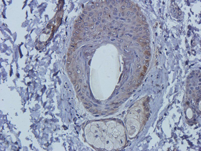 Immunohistochemical staining of rat skin tissue using Mlkl antibody (2.5 ug/ml)