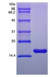 SDS-PAGE analysis of Mouse FGF basic protein
