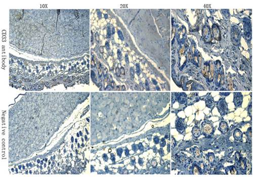 Immunohistochemical analysis of formalin-fixed and paraffin embedded mouse skin tissue using CD133 antibody (Dilution of primary antibody 1:100)