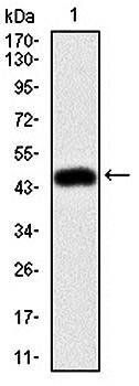Western blot analysis of human (AA: 292-491) recombinant protein using MSN antibody