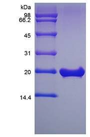 SDS-PAGE analysis of Murine FGF-18 protein
