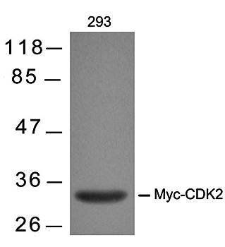 Western blot analysis of Myc-Tag mouse mAb antibody in 293 cells lysates