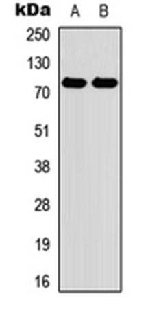 Western blot analysis of HEK293T (Lane1), Raw264.7 (Lane2) whole cell using Myeloperoxidase antibody