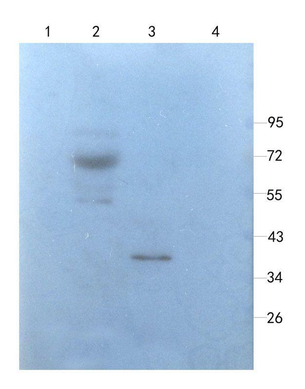 WB analysis of rat bladder (lane 1),rat lung (lane 2),mouse stomach (lane 3),rat colon (lane 4) using Myeloperoxidase antibody (1 ug/ml)